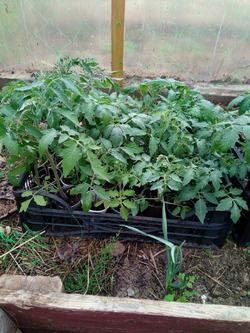 Покажу и я своих спортанцев) помидоры на конец мая.