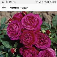 Дайте совет по покупке саженцев роз!!!