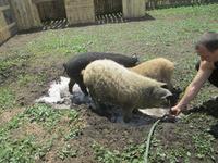 Знакомлю Вас с породой свиней ВЕНГЕРСКАЯ ПУХОВАЯ МАНГАЛИЦА