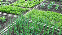 Огород: что посадить, посеять в июне