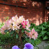 Весенние радости в моем саду.