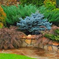 Поливать ли хвойные деревья осенью?