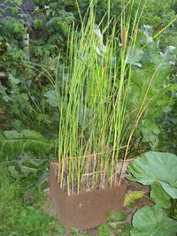 Необычный подарок природы – рогоз. Выращивание