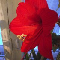 Стимулировала Гиппеаструм для цветения.