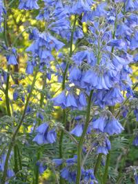 Небесные соцветия синюхи. Размножение