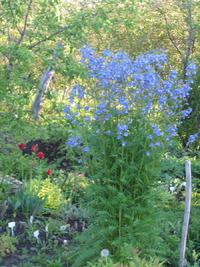 Небесные соцветия синюхи. Выращивание