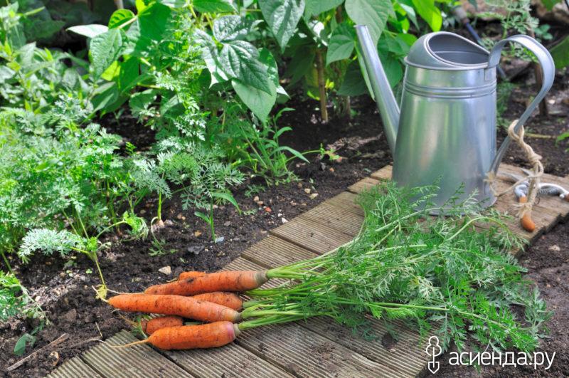Чем можно подкармливать морковь?