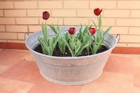 Выгонка тюльпанов к 8 Марта на «перинах» и «простынях»