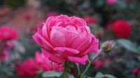 Укрытие кустовой розы