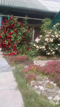 Ослепительная красота плетистых роз. Размножение