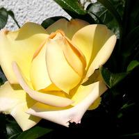 Розы к сентябрю