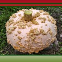 Кусты малины – лучшее укрытие для Зимнего кабачка, или Тыквы и кабачки на сибирской даче.