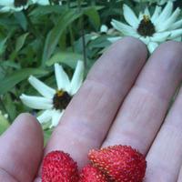 Земляника из семян- первый урожай!