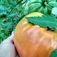 Про томаты - фигура заключительная.