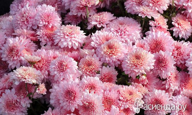 Хризантема: как высаживать цветок осенью