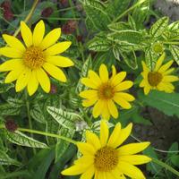 Золотое солнышко в саду