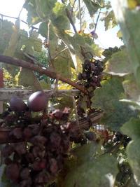 Что происходит с виноградом