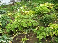 Редкая гостья в садах – Киренгешома дланевидная