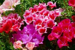 Какие цветы подойдут для подзимнего посева?