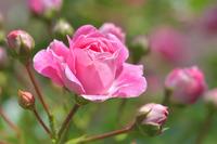 Чтобы в цветнике красовались розы