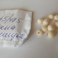 Посадка детки гладиолусов в торфяные и кокосовые таблетки