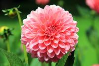 Как выращивать роскошные георгины или романтичные далии