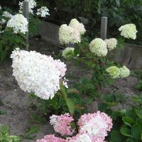 Гортензия самый продолжительно цветущий вид