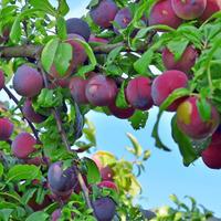 Советы по выращиванию вишни, сливы