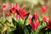 Тюльпаны: работа над ошибками