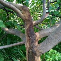 У яблони очень сильное сокотечение из раны. Как остановить?