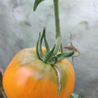 Начало августа-томаты.