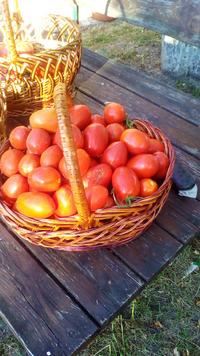 Первый массовый сбор помидор
