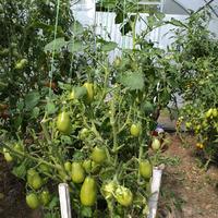 Продолжение. Другие сорта томатов.