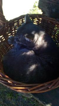 Кот в корзине, но это не помидор