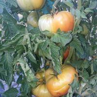 Мои любимые сорта томатов