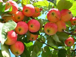 Как заставить яблони начать плодоносить?