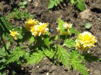 Керрия японская – желтое чудо. Размножение