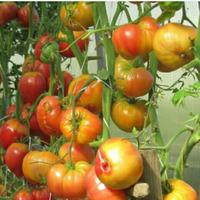Отчёт по томатам 2020