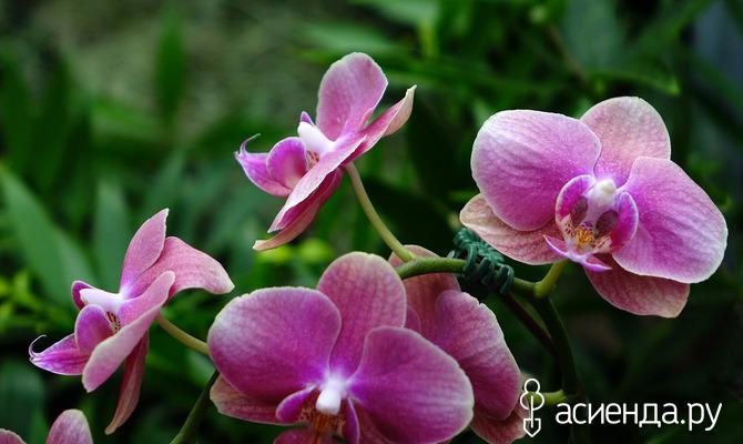 Почему орхидея не желает цвести?