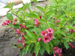 Вейгела – цветущая дважды за сезон. Выращивание