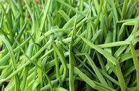 Зелень на подоконнике – это и вкусно, и полезно, и выгодно