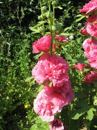 Нарядные гирлянды шток-розы