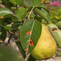 Как и чем лечить ржавчину на груше?