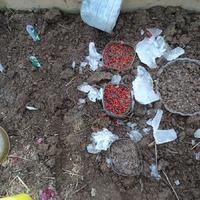 Как я растила семена-чернушку красного Ялтинского лука.