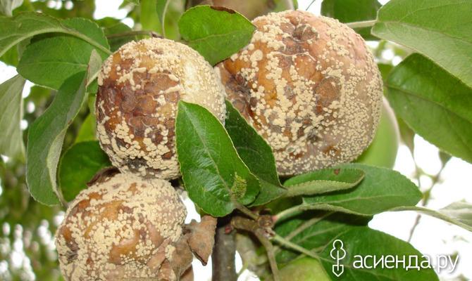 Как бороться с монилиозом яблони?