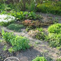 Предлагаю почвопокровные растения по низким ценам