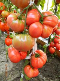 Моё томатное безумие на 2021 год. и снова тестирование!:)