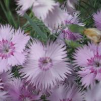Гвоздика травянка – непревзойденная красота