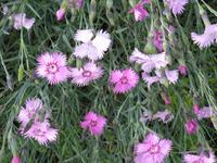 Гвоздика травянка. Размножение