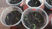 Быстрый способ проращивания семян перца